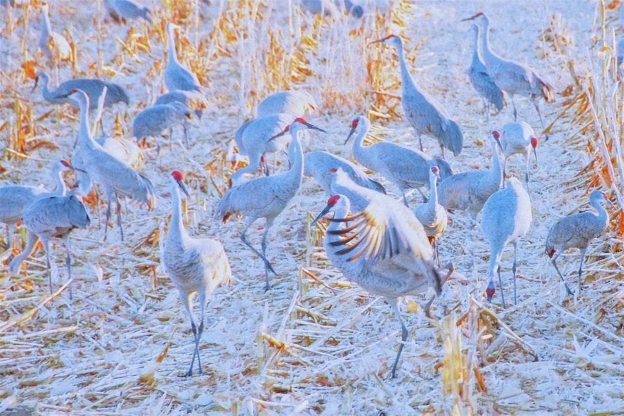 Sandhill Cranes Photograph - Field of Cranes, Sandhills by Zayne Diamond Photographic
