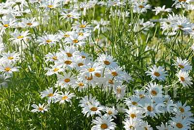 Daisy Photograph - Field Of Daisies by Dennis Hammer