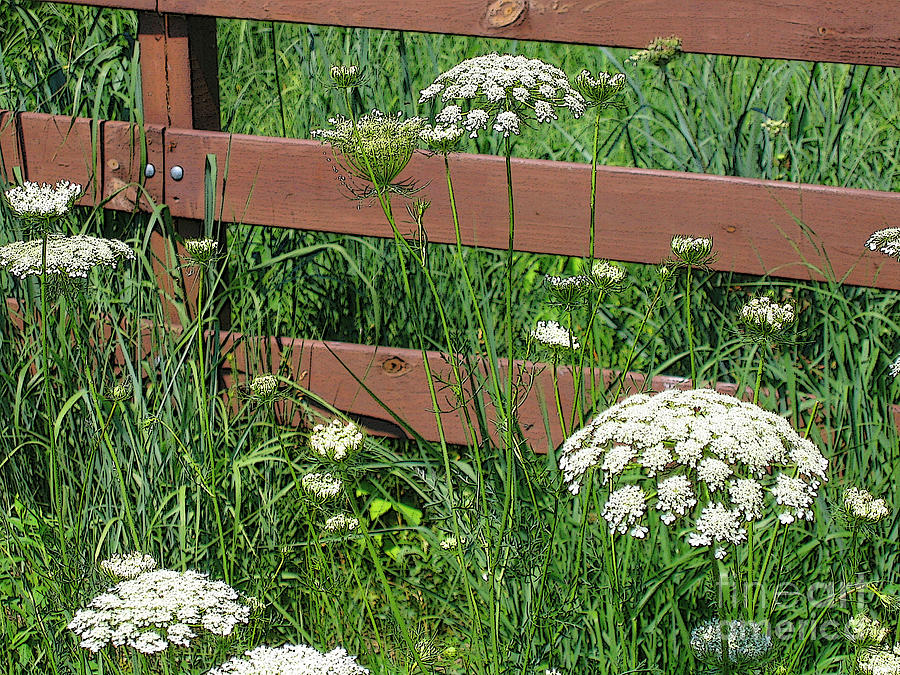 Flower Photograph - Field Of Lace by Ann Horn