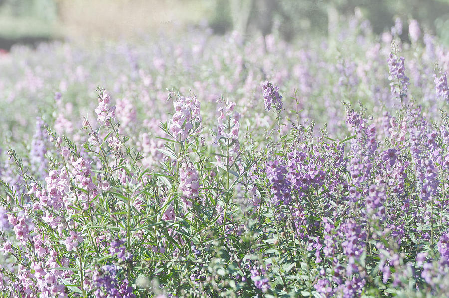 Lavender Colored Flowers Photograph - Field Of Lavender Flowers by Beverly Cazzell
