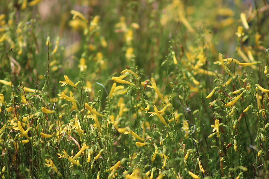 Lemon Yellow Photograph - Field of Lemon Yellow Bugle Flowers by Colleen Cornelius