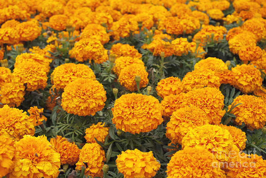 Marigold Photograph - Field of orange marigolds by Cindy Garber Iverson