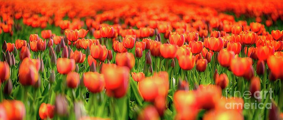Field of Orange Tulips by Alex Hiemstra