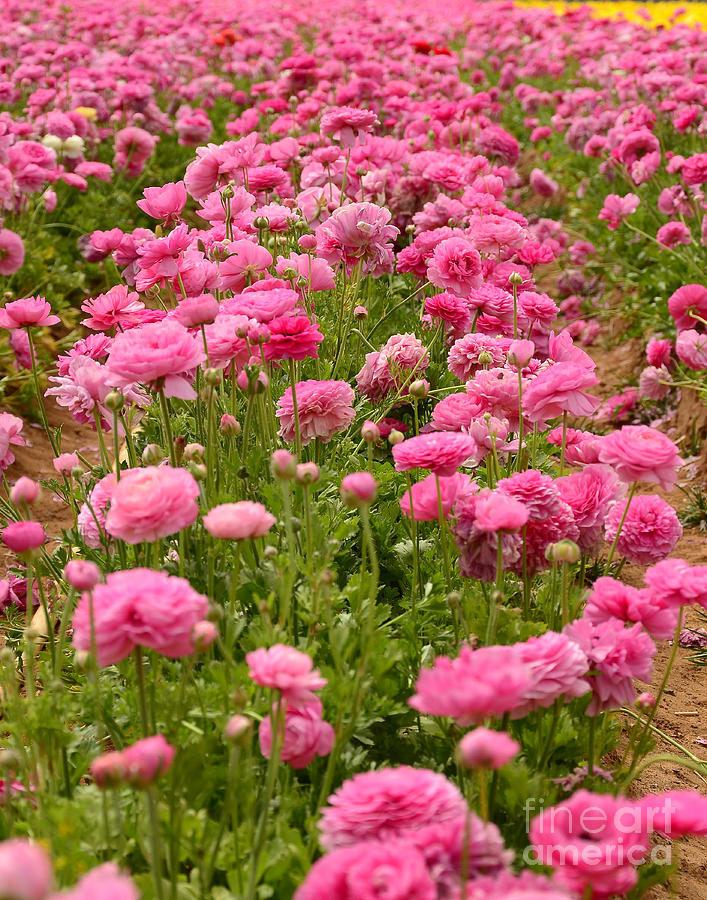 Field of pink flowers photograph by timothy oleary ranunculus photograph field of pink flowers by timothy oleary mightylinksfo