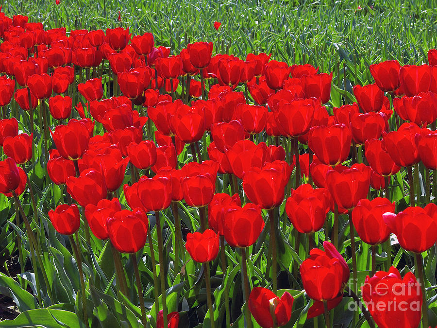 Red Tulips Photograph - Field Of Red Tulips by Sharon Talson
