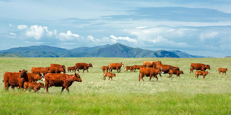 Herd Photograph - Field Of Reds by Todd Klassy