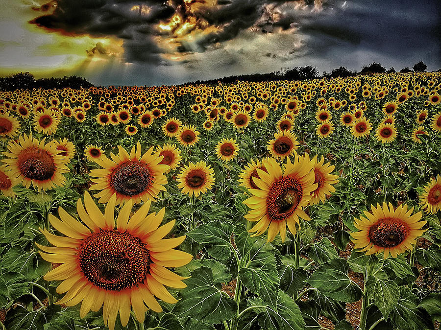 Field of sunflowers by Roberto Pagani