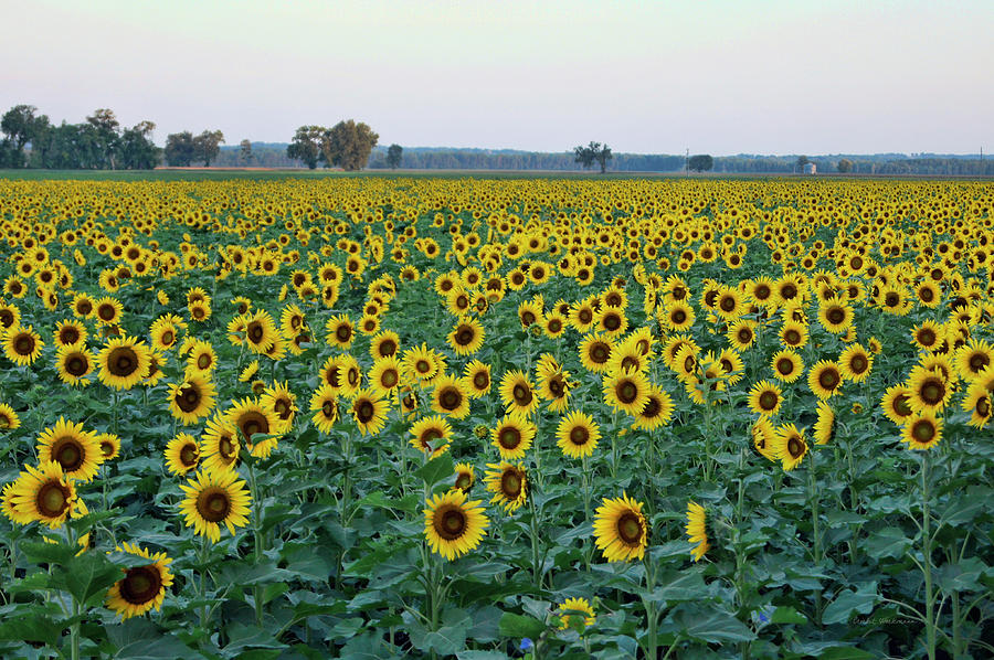 Field of Sunshine by Cricket Hackmann