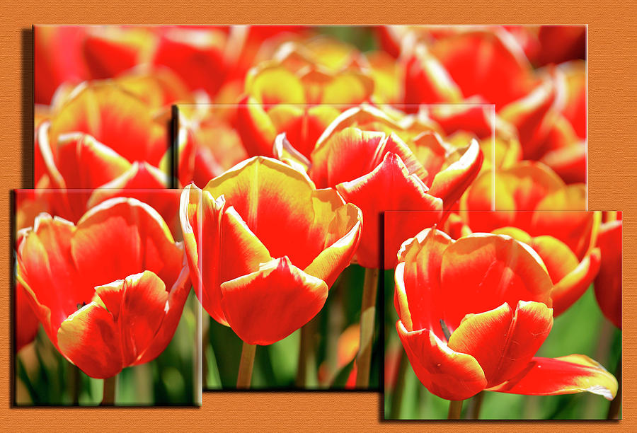 Field Of Tulips At Tulip Festival In Freehold, New Jersey Photograph