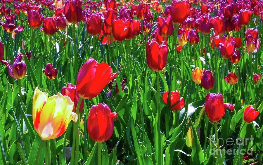 Tulips Photograph - Tulip Garden by D Davila