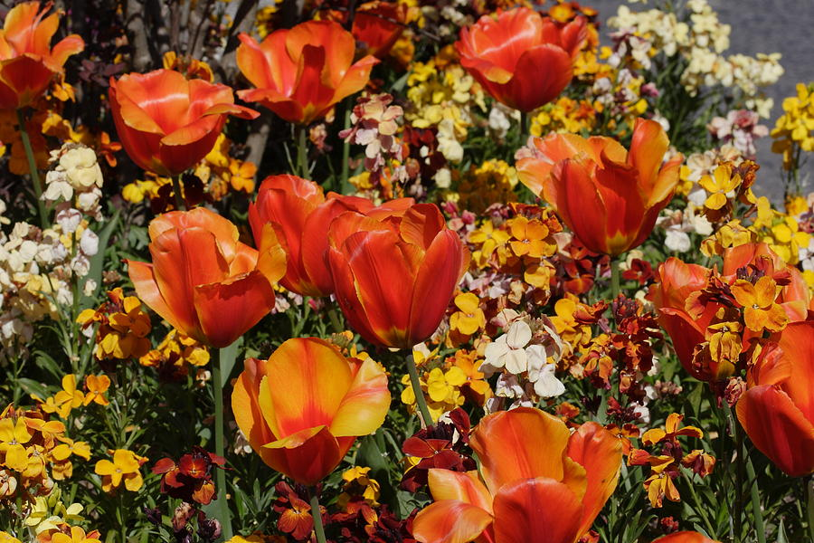 Tulips Photograph - Field Of Tulips by Pierre Leclerc Photography