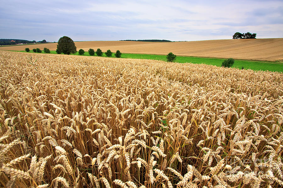 Agriculture Photograph - Field Of Wheat by Nailia Schwarz