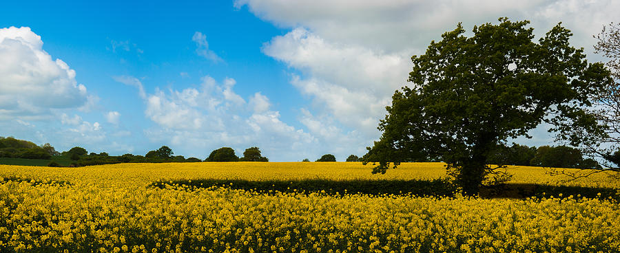 Field Photograph - Field Of Yellow by Nigel Spencer