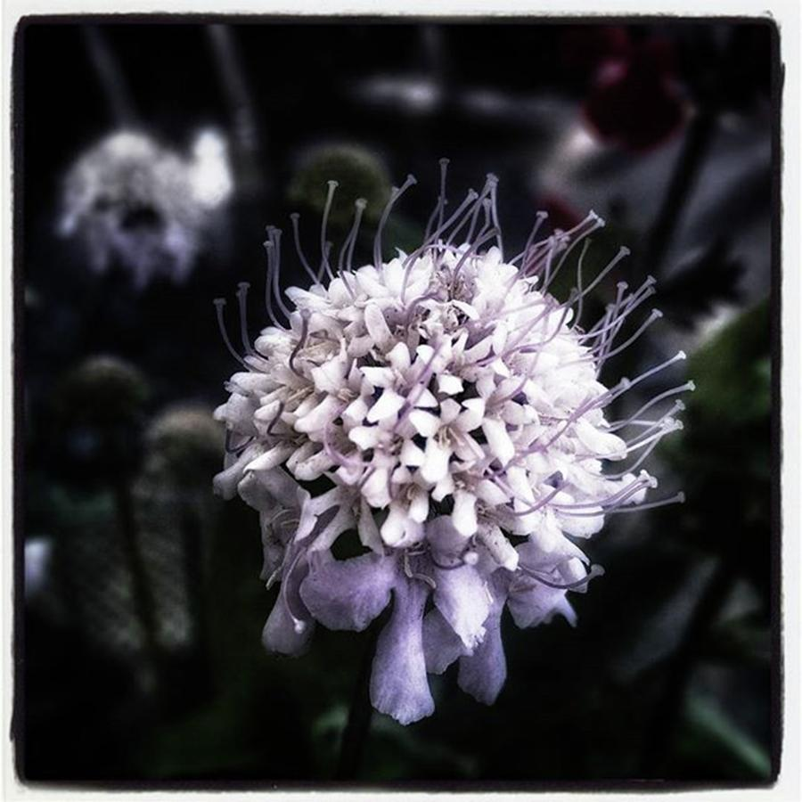Flower Photograph - Field Scabious. A Member Of The by Mr Photojimsf