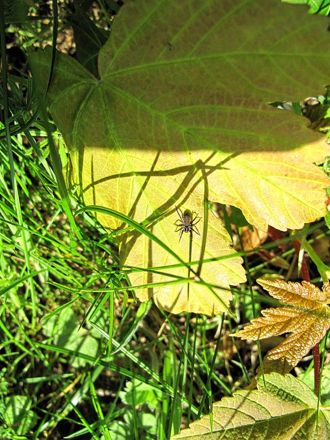 Field Spider Photograph