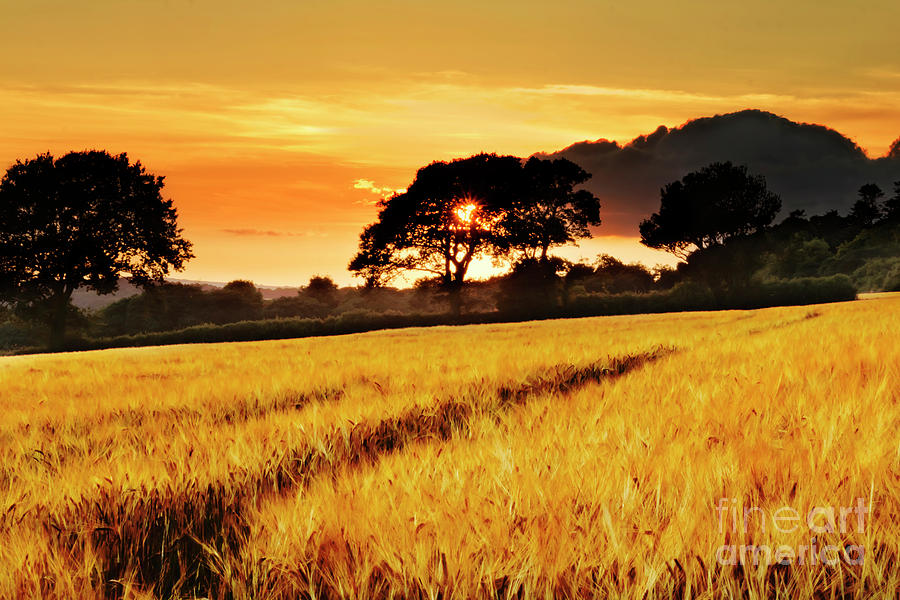 fields of gold sunset photograph by terri waters