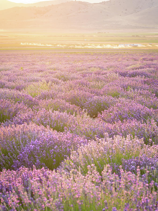 Lavender Photograph - Fields Of Lavender by Emily Dickey