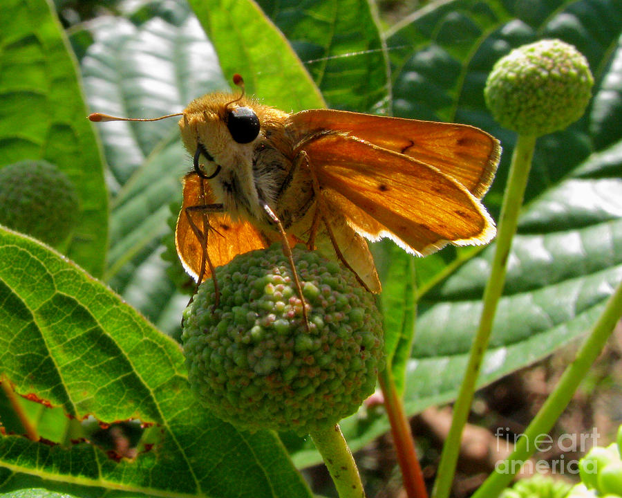 Butterfly Photograph - Fiery Skipper Butterfly by Donna Brown