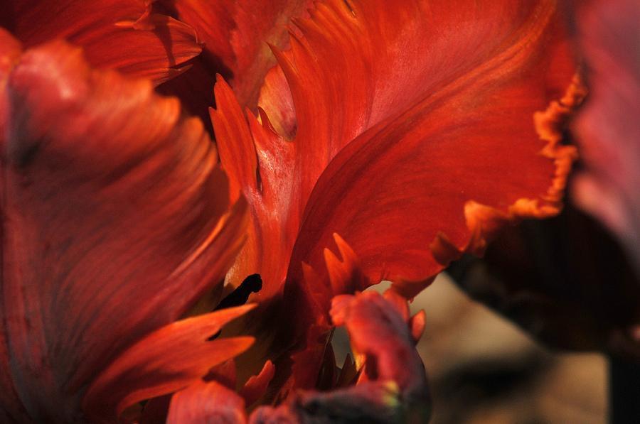Tulip Photograph - Fiery Tulip by Jennifer Englehardt