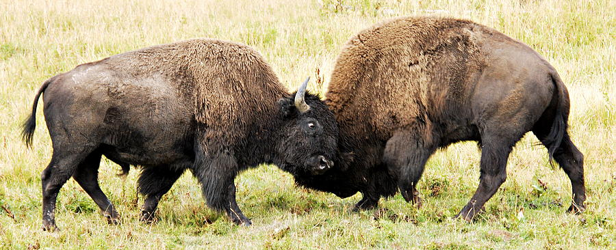 Yellowstone National Park Photograph - Fight  by Larry Ricker