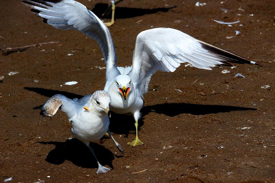 Bird Photograph - Fight With A Side Of Peanut by Amanda Struz