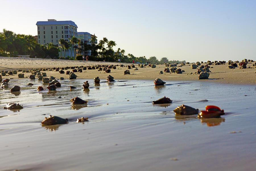 fighting conchs at lowdermilk park beach in naples fl