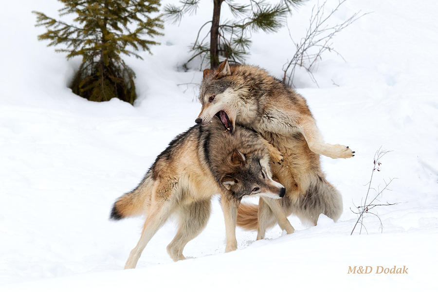 Fighting Wolves 2 Photograph By Mike Dodak