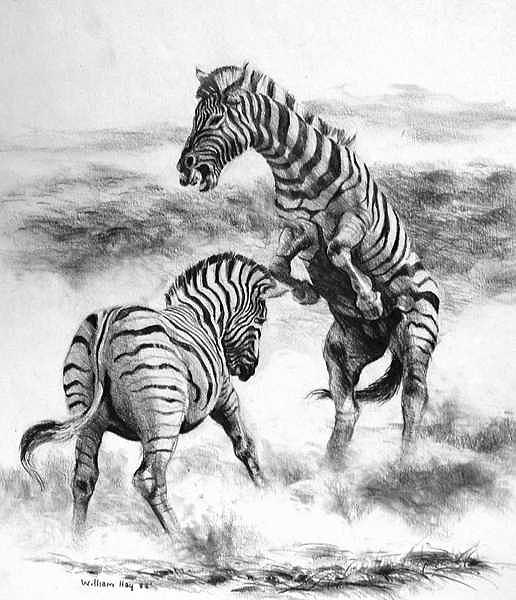 Fighting Zebras Drawing by William Hay