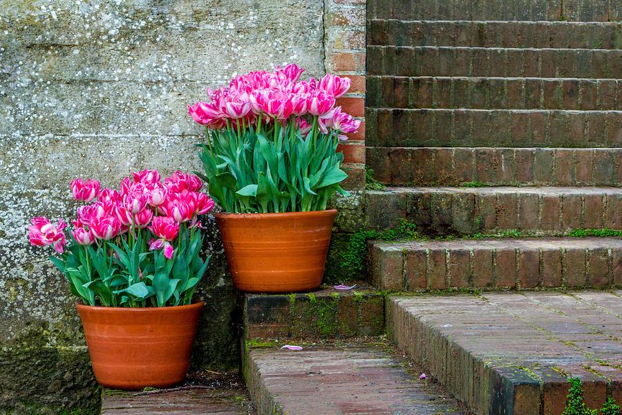 Garden Photograph - Filoli Tulips by Bill Gallagher