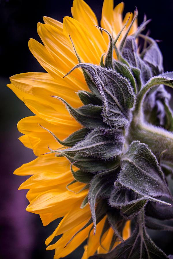 Filtered Sunflower Photograph