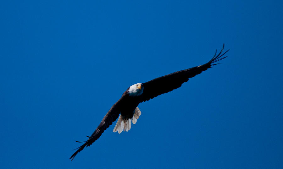 Eagle Photograph - Final Approach by Paul Mangold
