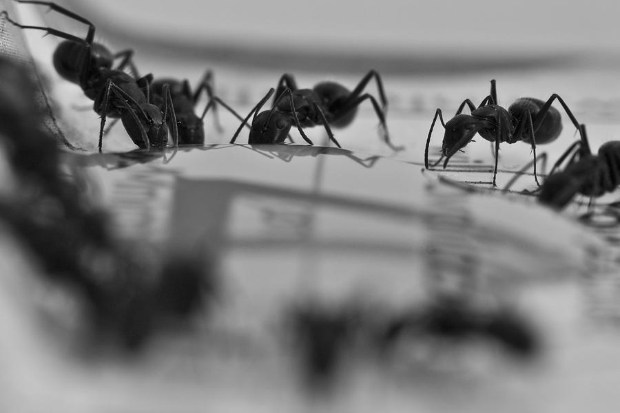 Ants Photograph - Final March by Joshua Ball