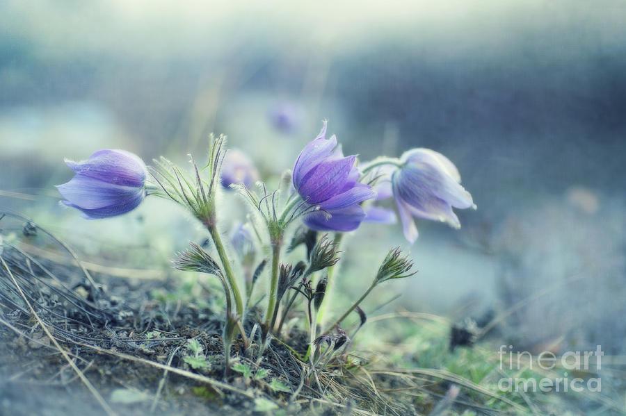 Pulsatilla Vulgaris Photograph - Finally Spring by Priska Wettstein