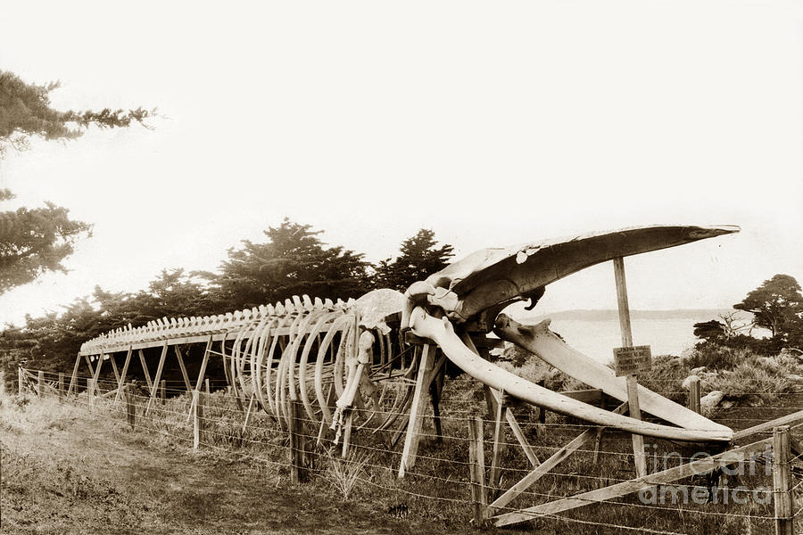 Fin whale skeleton - photo#44