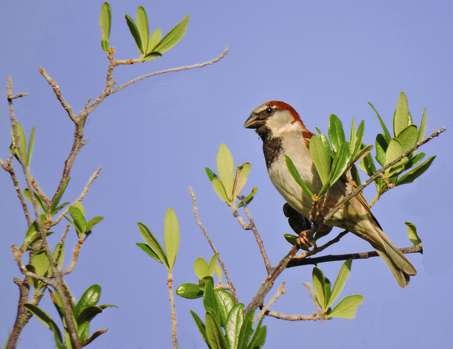 Finch Photograph