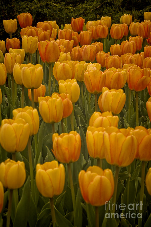 Fine Lines In Yellow Tulips Photograph