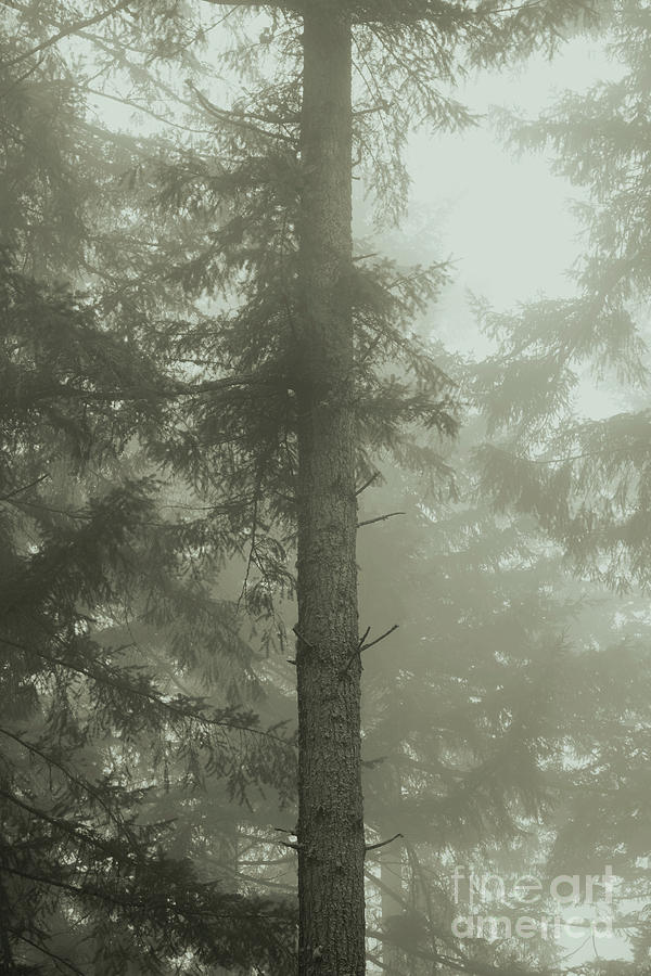 Fir and Fog by Charmian Vistaunet