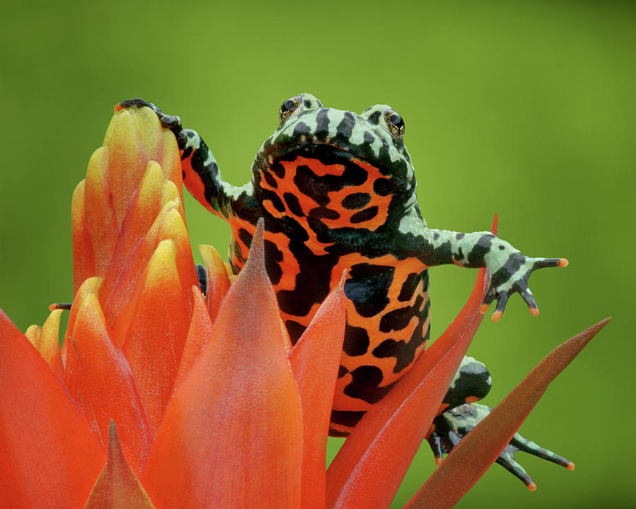Frogs Photograph - Fire-bellied Toad by Nikolyn McDonald