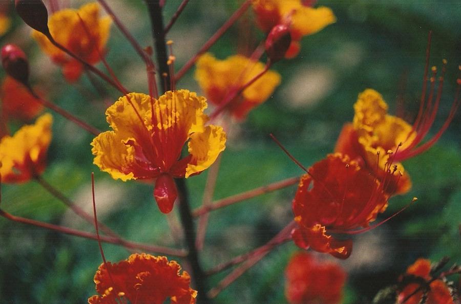 Flower Photograph - Fire Dancers by Brian Edward Harris