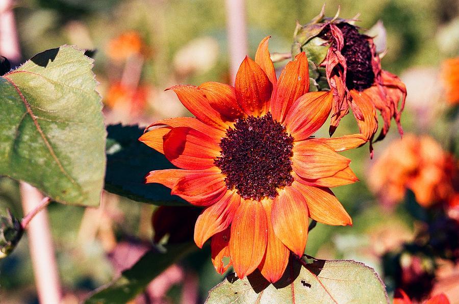 Flower Photograph - Fire Flower by Jonathan Michael Bowman
