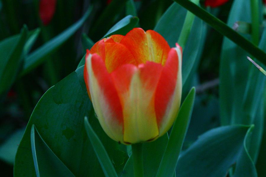 Botanical Photograph - Fire Tulip by David Houston