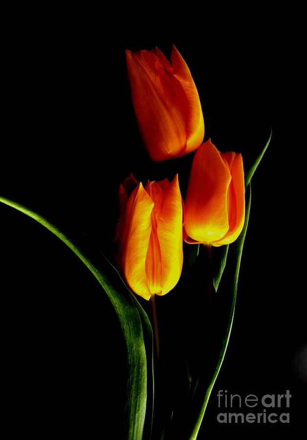Nature Photograph - Fire Tulips by Valia Bradshaw