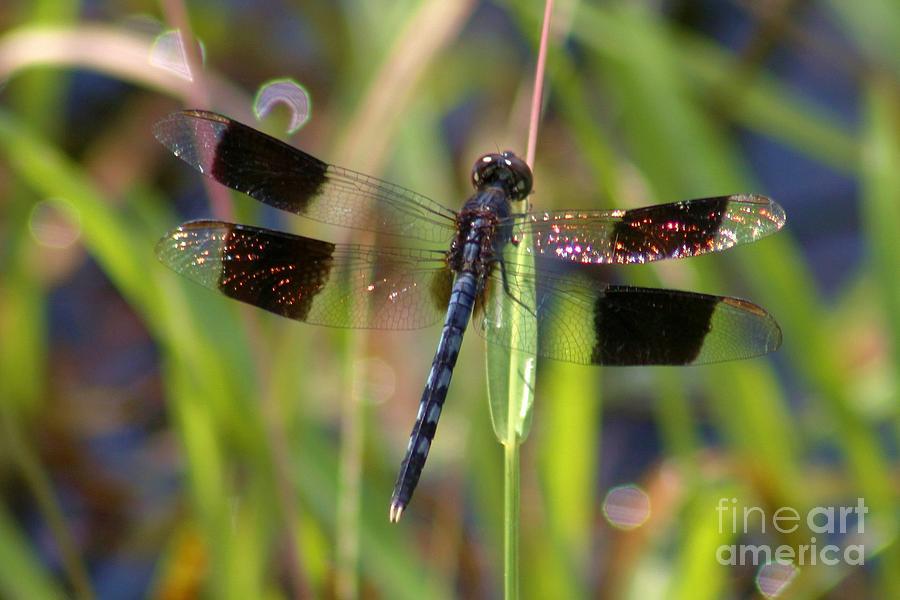 Dragonfly Photograph - Fire Wing Dragon by Robert Wilder Jr