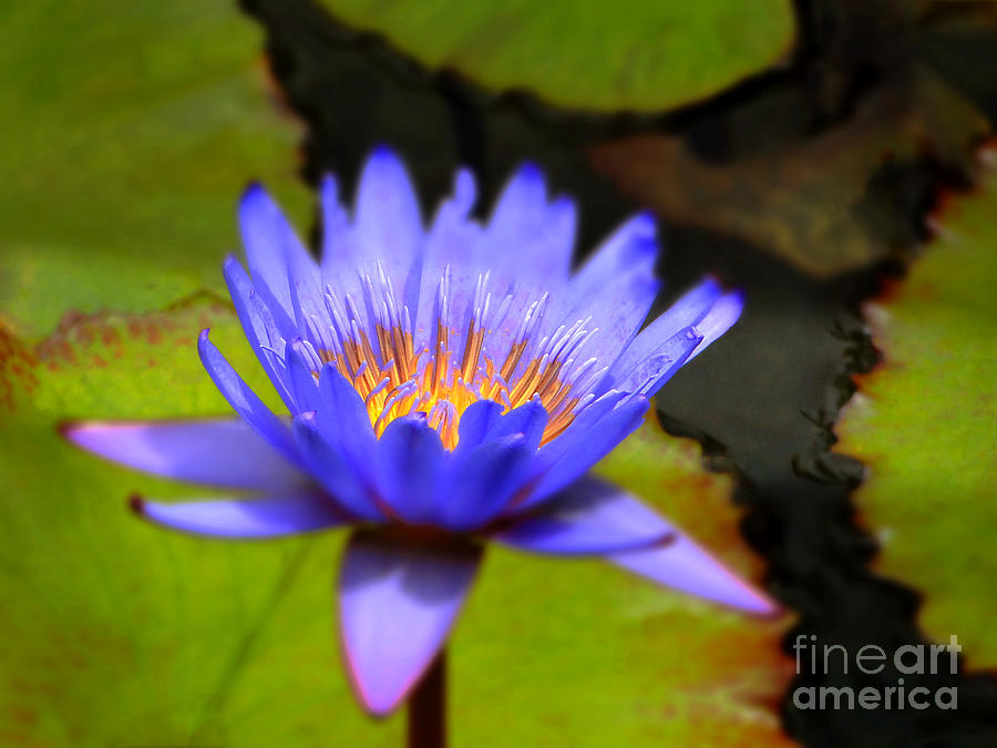 Water Lily Photograph - Fire Within by Sue Melvin