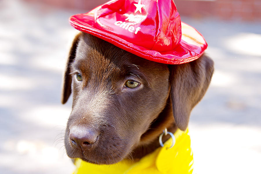 Dog Photograph - Firefighter Pup by Toni Hopper