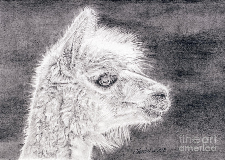 Alpaca Drawing - Firefly by Shevin Childers