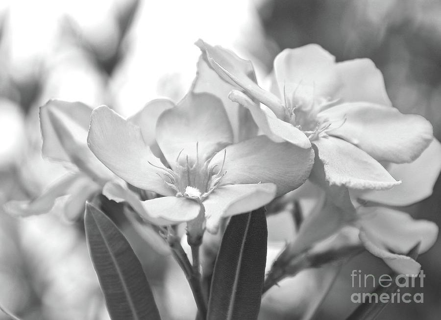Oleander Photograph - Firewalker Sw1 by Wilhelm Hufnagl
