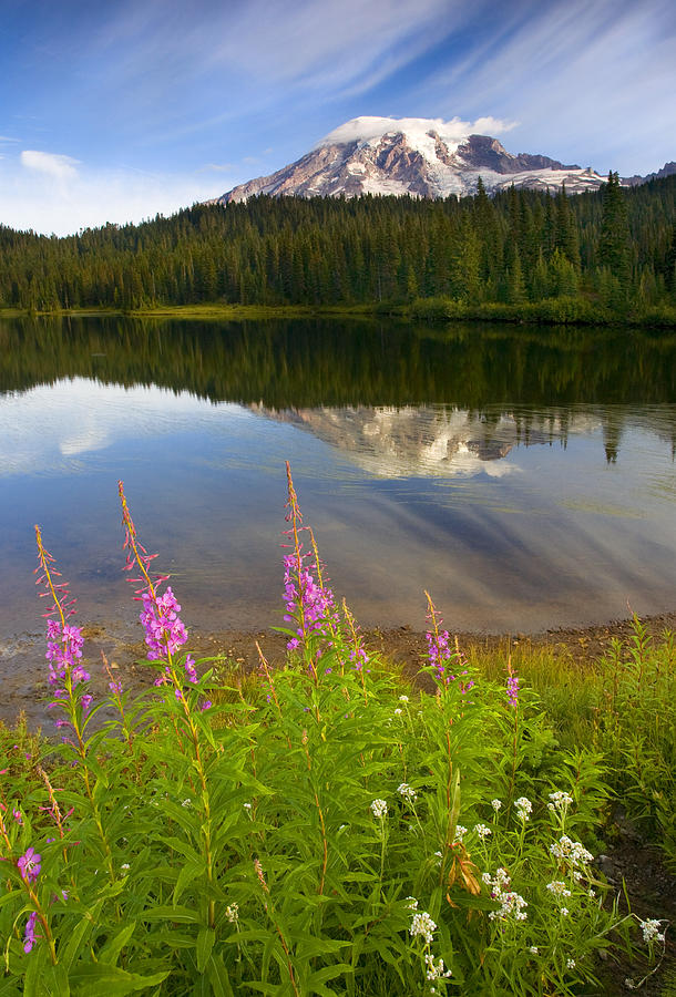 Fireweed Photograph - Fireweed Reflections by Mike  Dawson