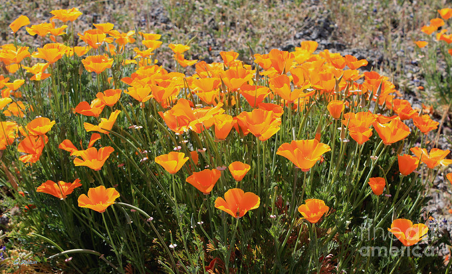 Poppies Photograph - First Bloom by Gail Salitui