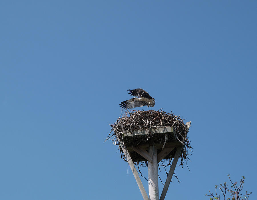 Osprey Photograph - First Flight by Carol McCutcheon